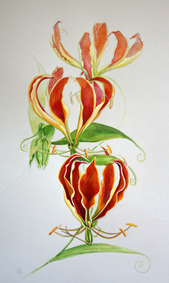 flame lillies ink watercolour coloured pencil
